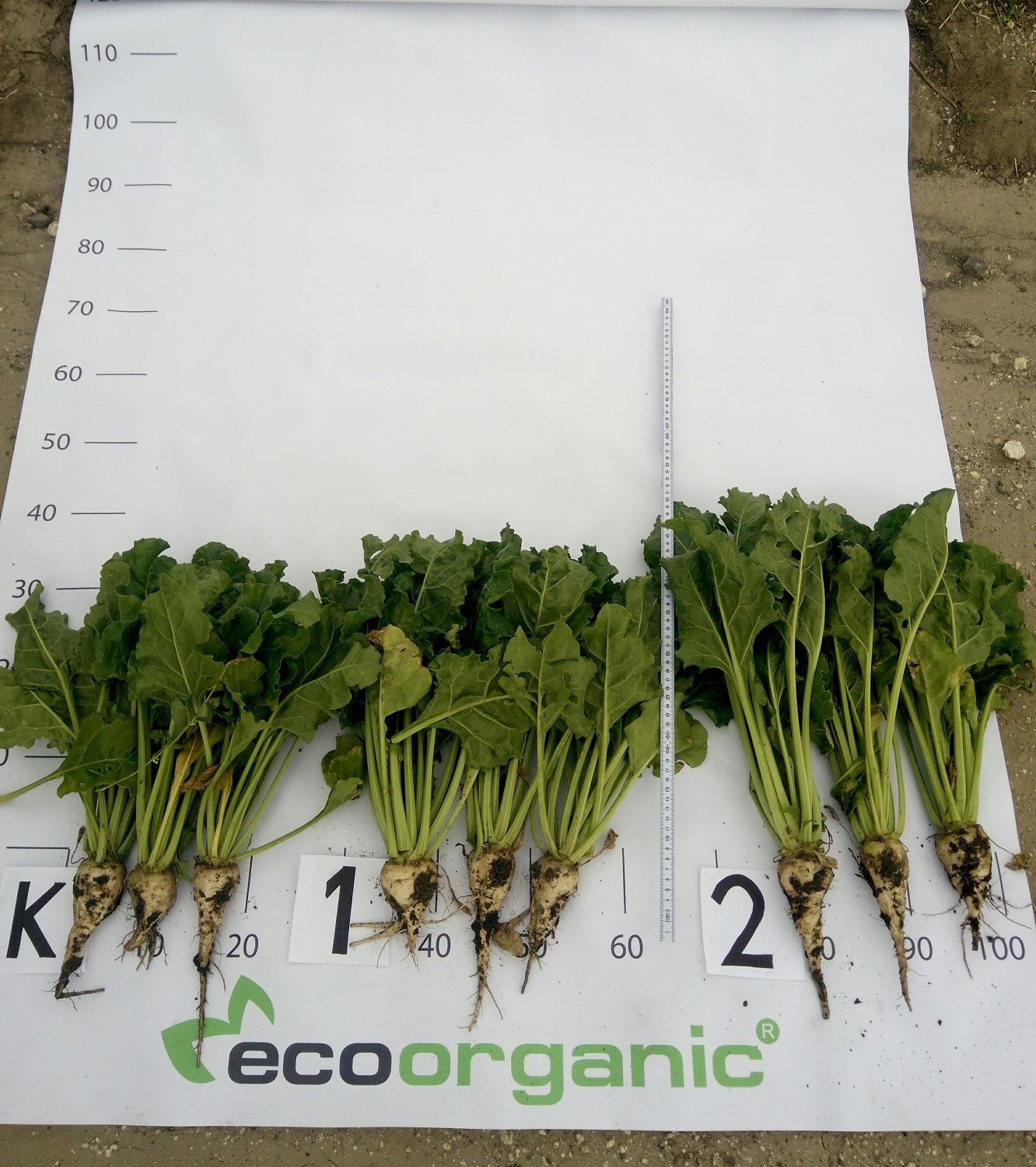 Foliar nutrition of sugar beets photo 2