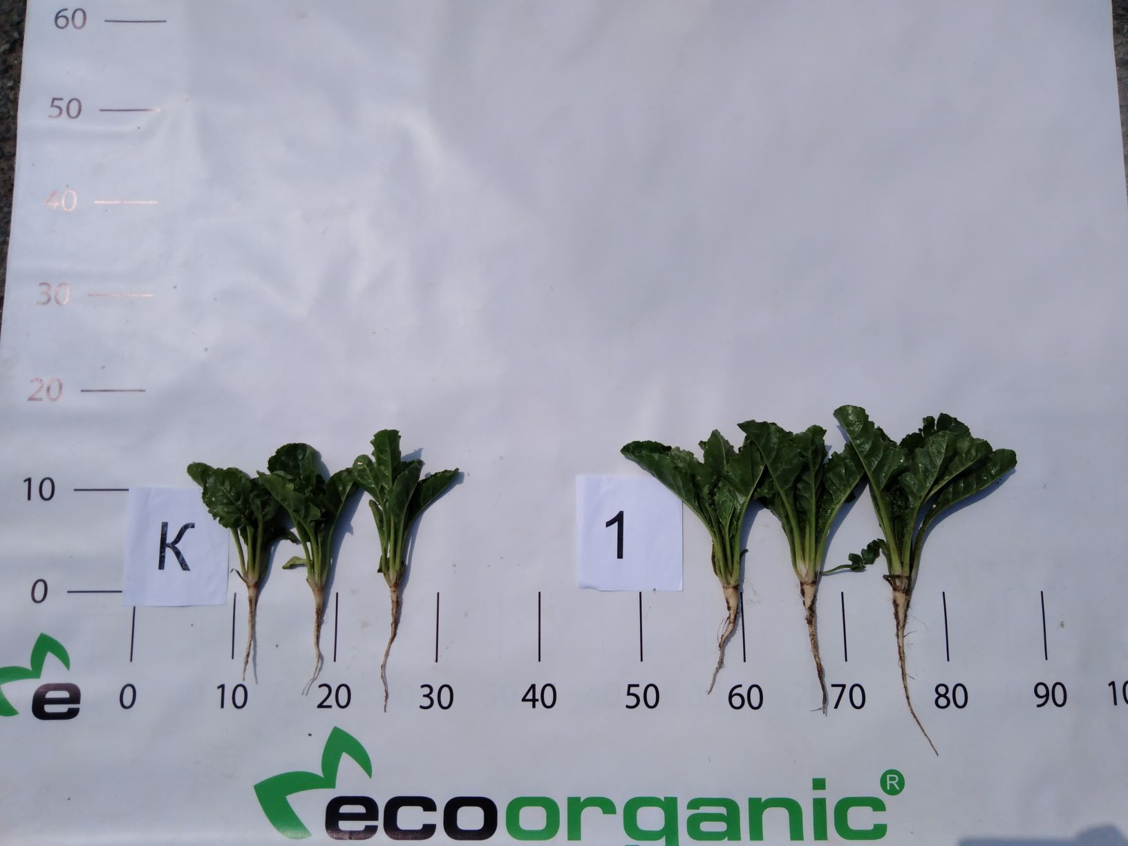 ecoorganic nutrition of sugar beets