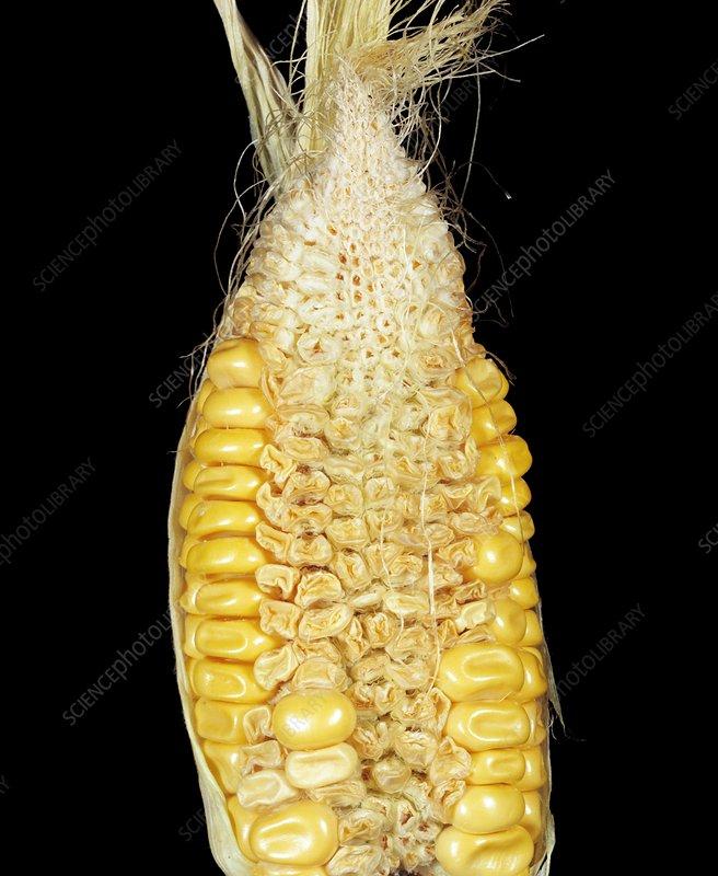 corn_ecoorganic